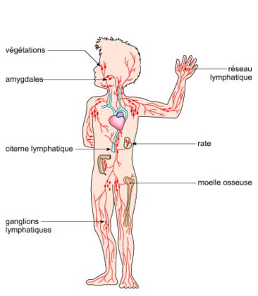 Les organes du système immunitaire - illustration 1