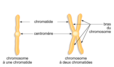 Un chromosome - illustration 1