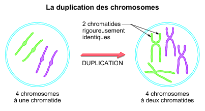La duplication des chromosomes - illustration 1