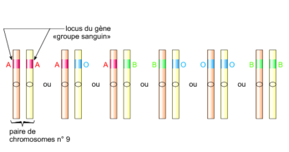 Deux chromosomes homologues - illustration 1