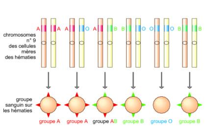 Allèle dominant et allèle récessif - illustration 1