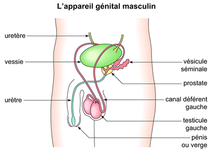 L'appareil génital masculin - illustration 1