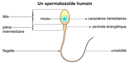 Un spermatozoïde humain - illustration 1