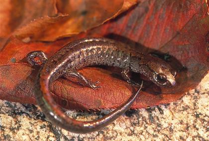 La salamandre Karsenia Koreana