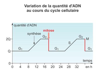 Variation de la quantité d'ADN au cours du cycle cellulaire - illustration 1