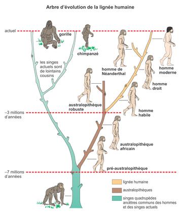 Arbre d'évolution de la lignée humaine - illustration 1
