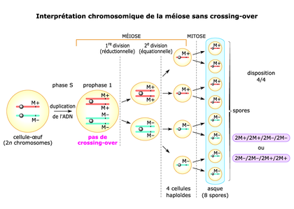 Interprétation chromosomique de la méiose sans crossing-over - illustration 1