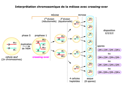 Interprétation chromosomique de la méiose avec crossing-over - illustration 1