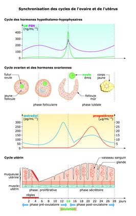 La synchronisation des cycles de l'ovaire et de l'utérus - illustration 1
