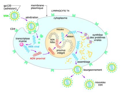 Cycle réplicatif du VIH - illustration 1