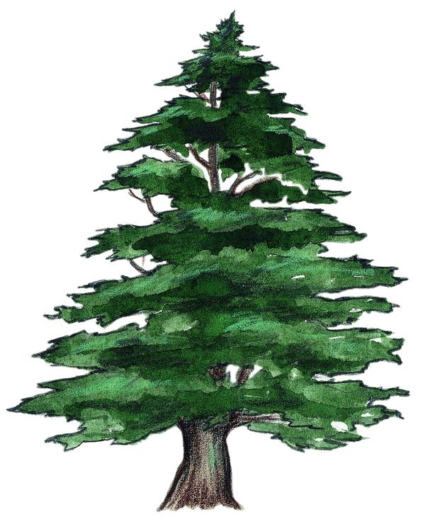 Image cedre fm le c dre banque d 39 images sur la nature - Cedre bleu du liban ...