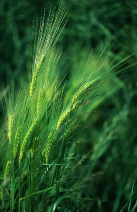 Les épis de blé