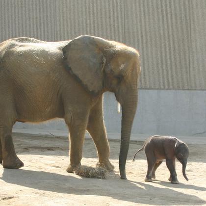 L'éléphant et son petit