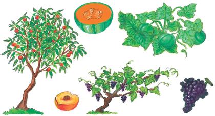Le melon, l'abricot et le raisin
