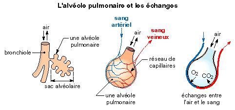 Image 5sre02i10 anatomie et histologie de l 39 appareil for Les echanges exterieur cours bac