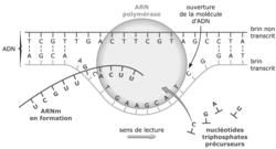 Génétique moléculaire : expression de l'information génétique - illustration 1