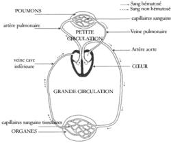 Organisation et histologie de l'appareil respiratoire - illustration 2