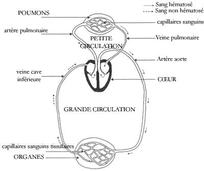 Top Anatomie et histologie de l'appareil respiratoire - Réviser le  PX39