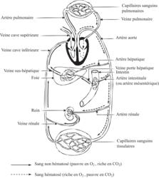 Organisation de l'appareil cardiovasculaire et circulation sanguine - illustration 1