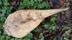 Betterave sucrière récoltée dans la région de la Beauce