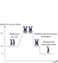 Le brassage génétique et sa contribution à la diversité génétique - illustration 1