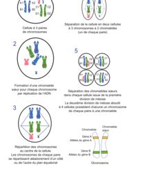 Le brassage génétique et sa contribution à la diversité génétique - illustration 2