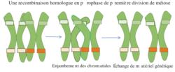 Le brassage génétique et sa contribution à la diversité génétique - illustration 3