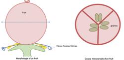 Les relations entre organisation et mode de vie, résultat de l'évolution : l'exemple de la vie fixée chez les plantes - illustration 9
