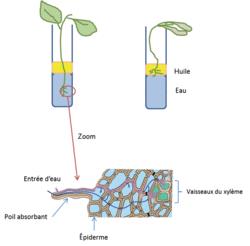 Les relations entre organisation et mode de vie, résultat de l'évolution : l'exemple de la vie fixée chez les plantes - illustration 3