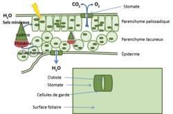 Les relations entre organisation et mode de vie, résultat de l'évolution : l'exemple de la vie fixée chez les plantes - illustration 4