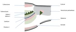 Les relations entre organisation et mode de vie, résultat de l'évolution : l'exemple de la vie fixée chez les plantes - illustration 7