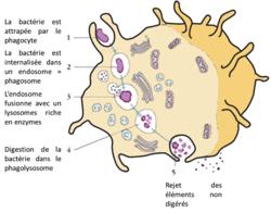 La réaction inflammatoire, un exemple de réponse innée - illustration 1