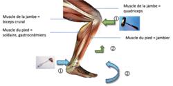Le réflexe myotatique, un exemple de commande réflexe du muscle - illustration 1