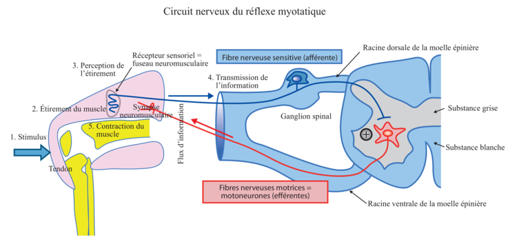 reflexe myotatique