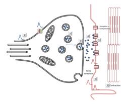 Le réflexe myotatique, un exemple de commande réflexe du muscle - illustration 6