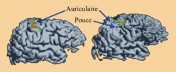 Motricité et plasticité cérébrale - illustration 2