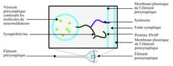Schéma de l'ancrage d'une vésicule d'exocytose