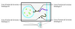 Schéma des lieux et mode d'action des toxines botuliques