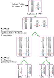 Étude du croisement F2 = F1 x P2 : méiose formant les gamètes de F1