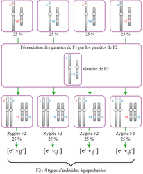 Étude du croisement F2 = F1 x P2 : fécondation des gamètes de F1 et de P2