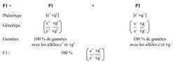 Étude du croisement F1 = P1 x P2 : établissement des génotypes et phénotypes de la F1