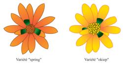 Les inflorescences des deux variétés de Gorteria diffusa
