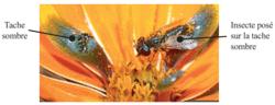 Insecte mâle de l'espèce Megapalpus capensis visitant une fleur de la variété « spring »