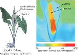 Température mesurée au niveau de l'inflorescence d'arum lors du brutal épisode de production de chaleur