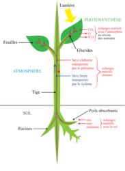 Schéma-bilan : les échanges nutritifs externes et internes de la plante, des adaptations à un mode de vie fixé à l'interface sol/atmosphère