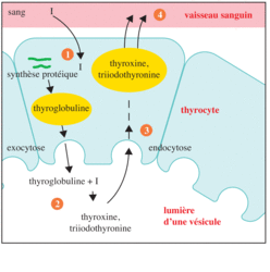 Biosynthèse des hormones thyroïdiennes