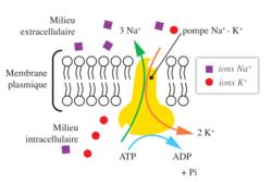 Fonctionnement de la pompe sodium-potassium (représentation schématique) et concentrations intracellulaires en ions