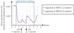 Effets du cyanure et de l'ATP sur des neurones de calmar