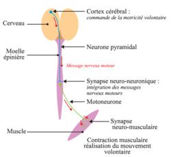 La commande de la motricité volontaire : du cortex cérébral au muscle
