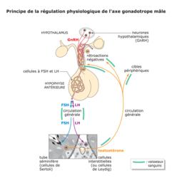 Régulation de la fonction reproductrice - illustration 1